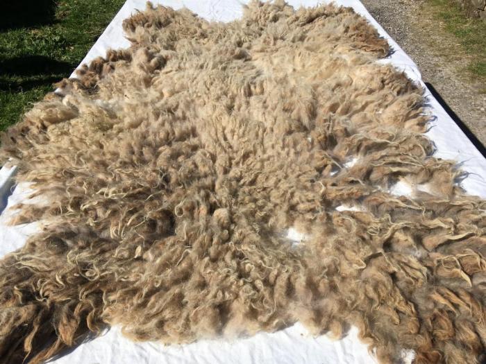 2020 Shetland  × North Ronaldsay Shearling Fleece