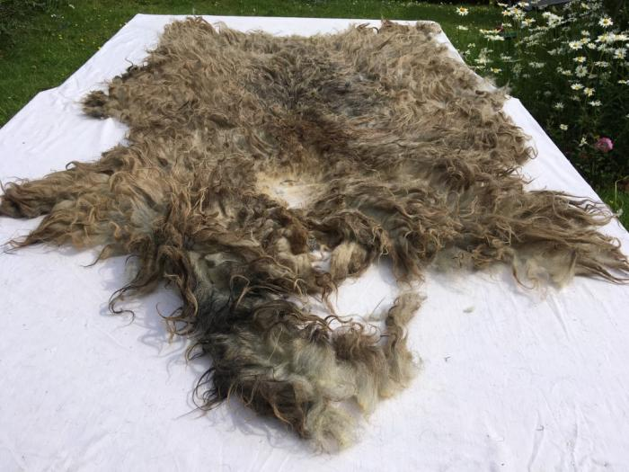 2021 North Ronaldsay Fleece from Little Ronnie